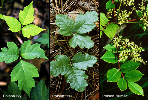 leaves of poison ivy, oak, sumac